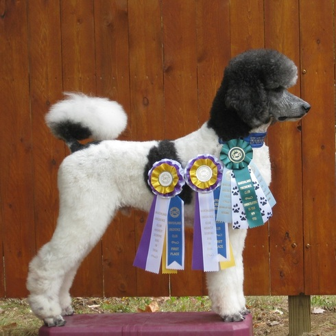 Dog Obedience High in Trial - Tripp with all his ribbons