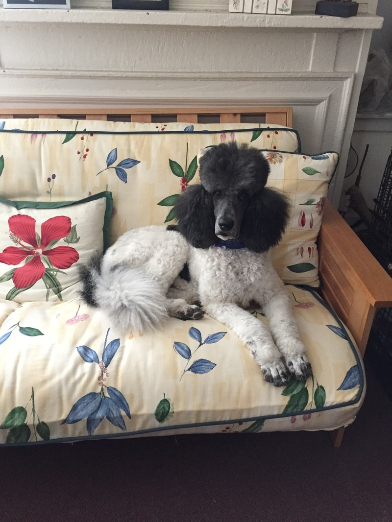 furniture is made for Poodles